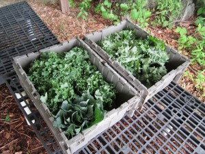 kale ready for World PEAS