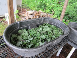 kale being washed