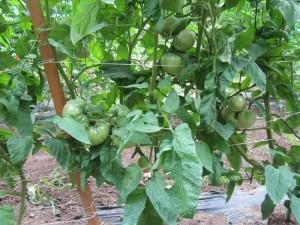 lotta tomatoes
