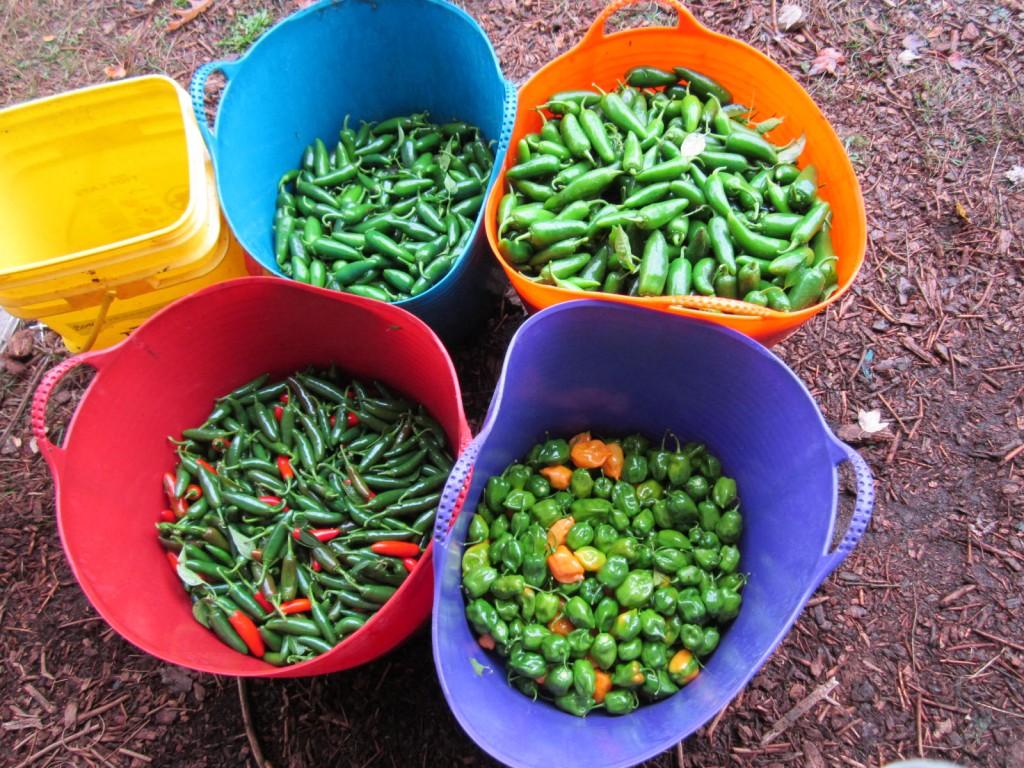 bumper crop of peppers
