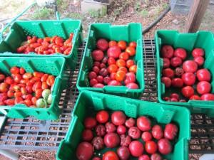 lots o tomatoes