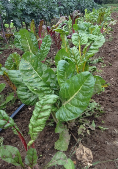 Chard in the field