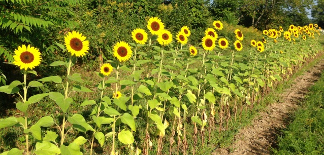 row of sunflowers smaller